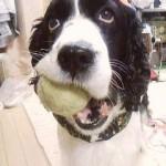 ボール遊びを要求するイヌ 2
